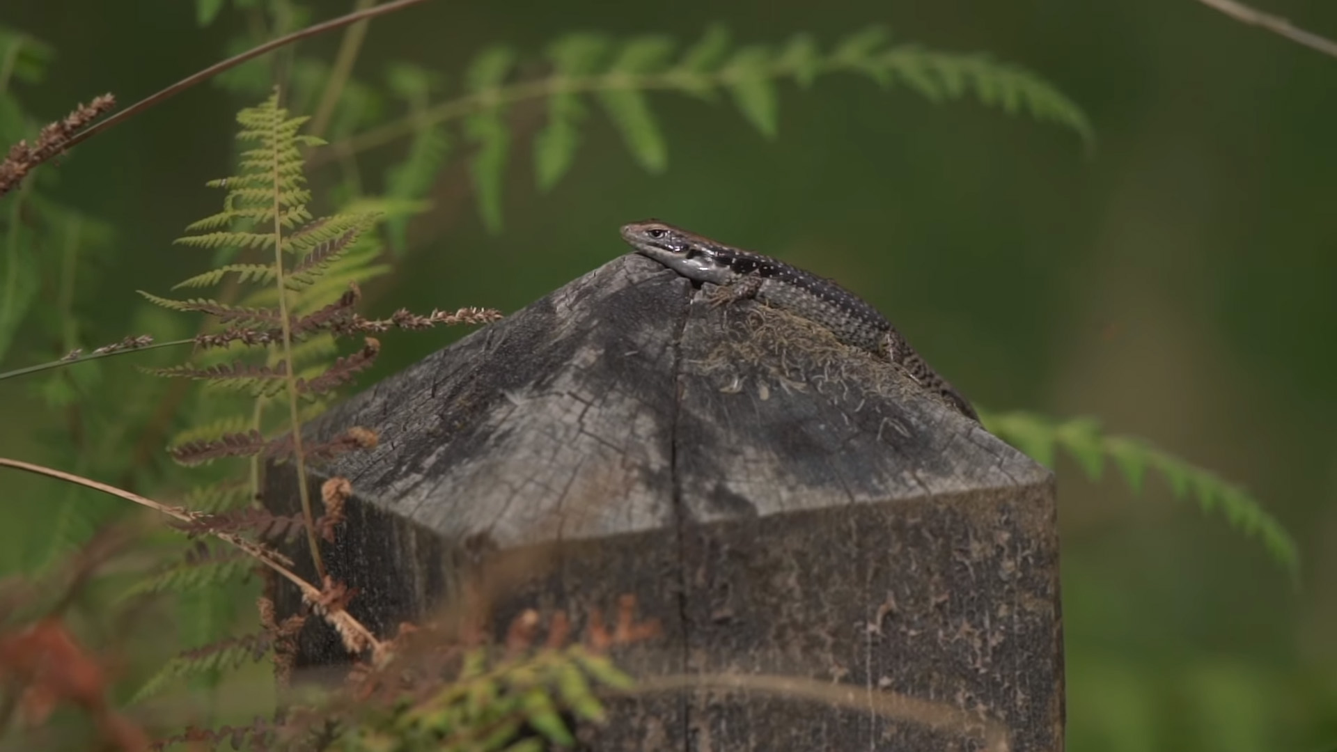 environmental values check lizard on fence post in forest near warburton